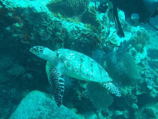 Hotel Kanaoa Les Saintes: La tortue marine vie autour de l'archipel des Saintes