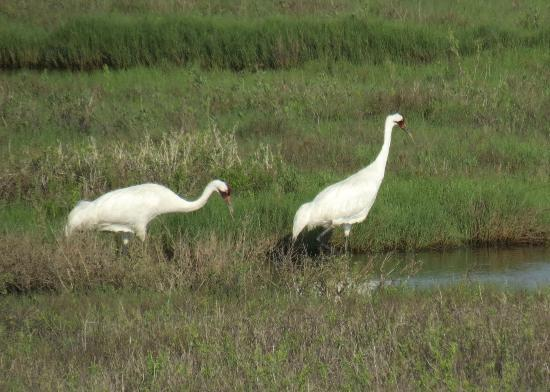 Sportsman Manor Motel: Scarce Whooping Cranes on the adjacent Aransas Bay