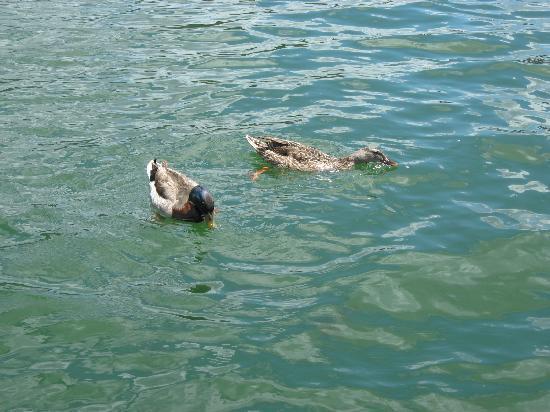 Pace Bend Park: Ducks