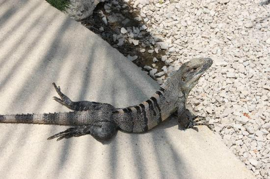 Hotel Ritmo Tropical: Lazy iguanas everywhere at Ritmo