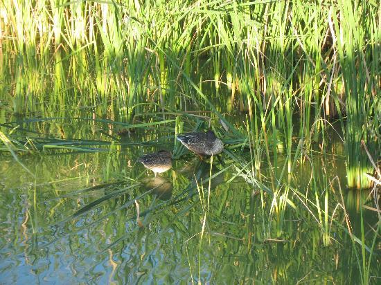 Leonabelle Turnbull Birding Center: Ducks