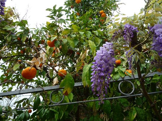 Podere la Pergola: Oranges and flowers (Glyzinie) on the pergola