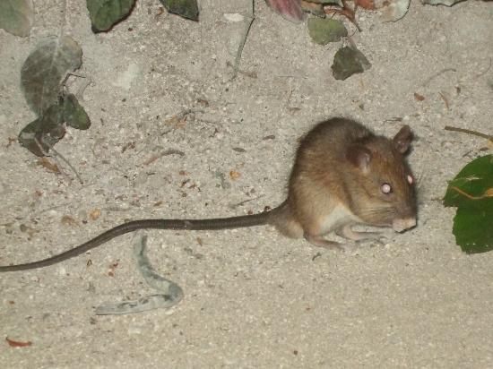 Kuramathi Island Resort: palm rat every island has them they are not vermin