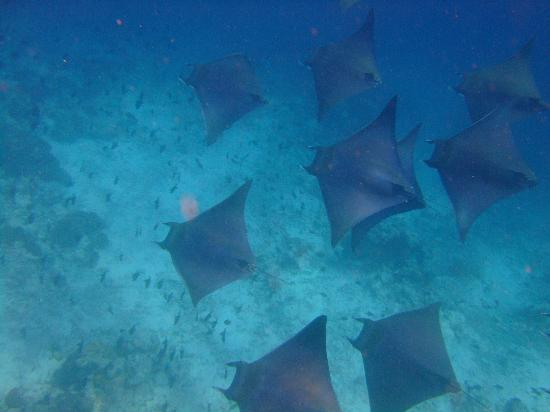 Kuramathi Island Resort: devil rays