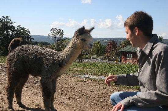 Finger Lakes, นิวยอร์ก: Lazy Acre Alpacas - Bloomfield, NY