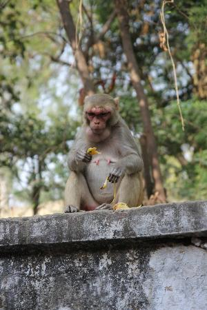 Hotel Sidhartha: monkey eating breakfast just outside door