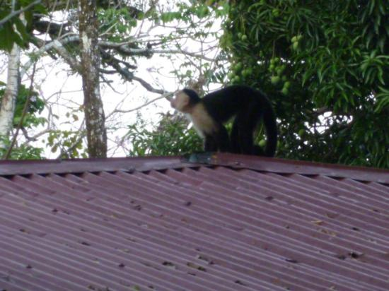 Jungle Beach Hotel at Manuel Antonio: baby on roof
