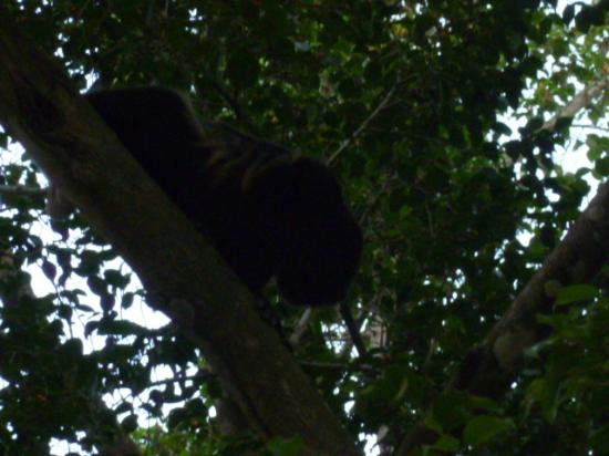 Jungle Beach Hotel at Manuel Antonio: Howler Monkey