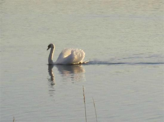 Loch Leven Heritage Trail: One of the many swans displaying in the sunset