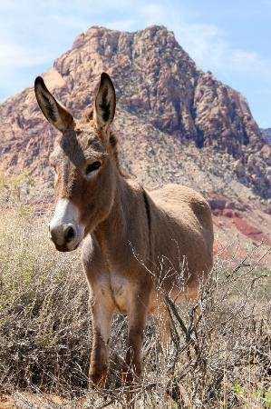 Grand Canyon by Red Rock Canyon Tours: Burro