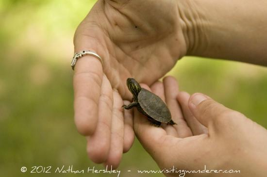 Lawrence, KS : Baby turtle we found