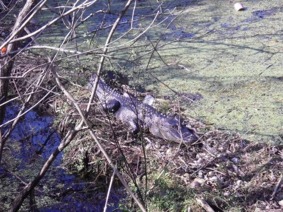 Lettuce Lake Regional Park: alligator!