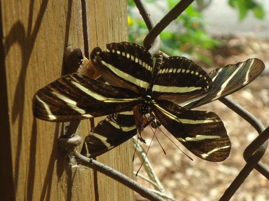 Daggerwing Nature Center: pretty zebra butterfly close up