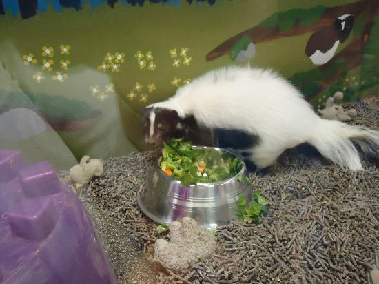 Daggerwing Nature Center: skunk in tank