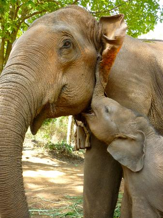 Lanna Kingdom Tours: One month old baby elephant