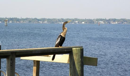 """Palmetto Riverside Bed and Breakfast: Out on the pier, we find an anhinga up from a """"swim"""" with a rather large sized fish in its throa"""