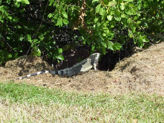 Wilhelmina Park : Iguanas por toda la plaza