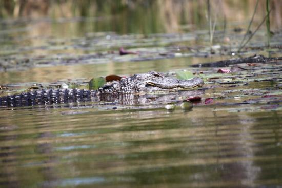 Alligator River National Wildlife Refuge: They didn't seem shy, but not aggressive either