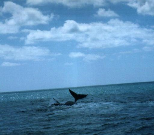 Alcobaca, BA: more humpback whales