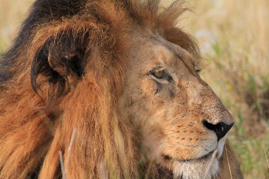 Kapama Private Game Reserve, Zuid-Afrika: The King