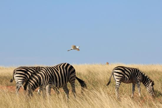 Kapama River Lodge: Zebra's