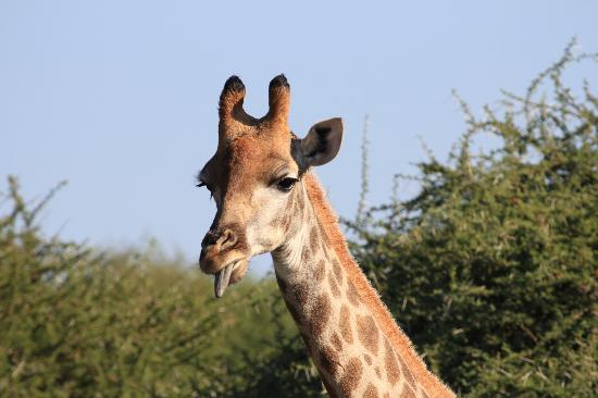Kapama River Lodge: Giraffe sticking his tongue out at us