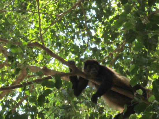 Hotel Nahua: More Monkeys