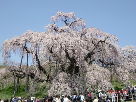 Miharutakizakura : 滝桜