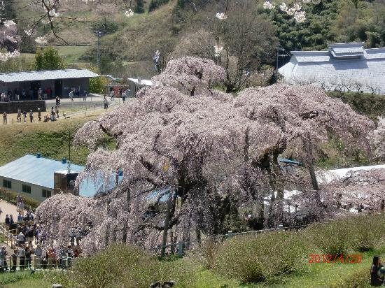Miharutakizakura : 裏から見た滝桜