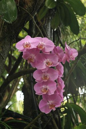 Hotel Au 'Ti Sucrier: superbe orchidée au jardin botanique de Deshaies