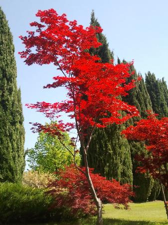 Acero giapponese rosso picture of parco giardino sigurta for Acero rosso giapponese