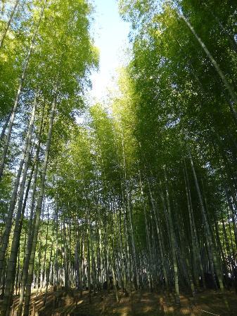 Beppu, Giappone: Bamboo trees