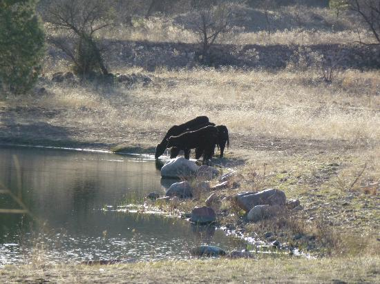 Cherry Creek Lodge: Cattle at the Watering Hole