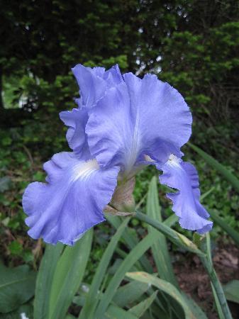 1898 Red Bud Bed & Breakfast: Iris in bloom April 2012