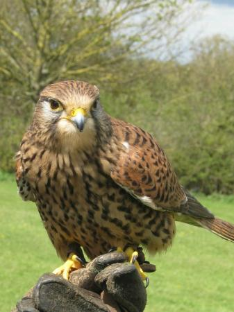 Cullompton, UK : Yarak Bird of Prey
