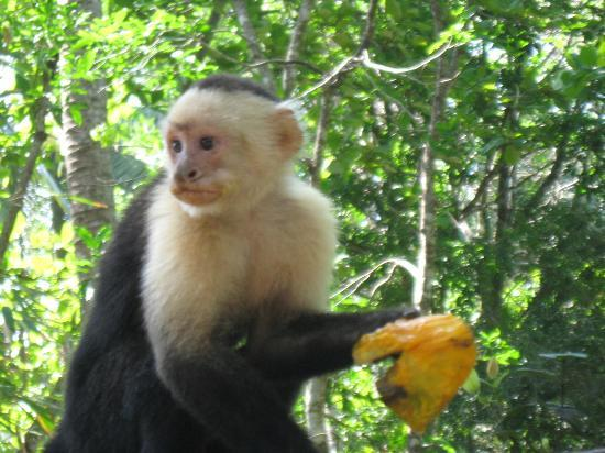 Curu National Wildlife Refuge: The monkeys love the mangoes.