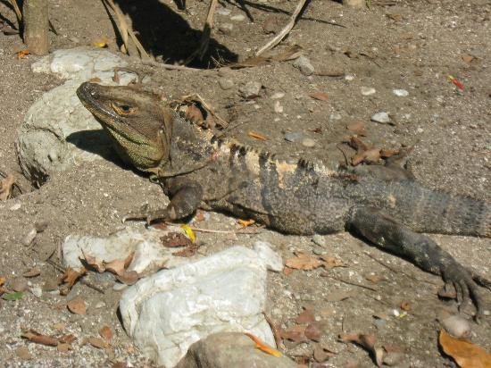 Curu National Wildlife Refuge: Mr. Iguana greeted us.