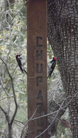 Chuparosa Inn Bed and Breakfast: Pair of lovely Acorn Woodpeckers at the custom Chuprosa birdfeeder