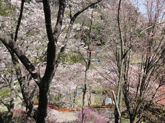 Kanazakura Shrine : 満開の桜
