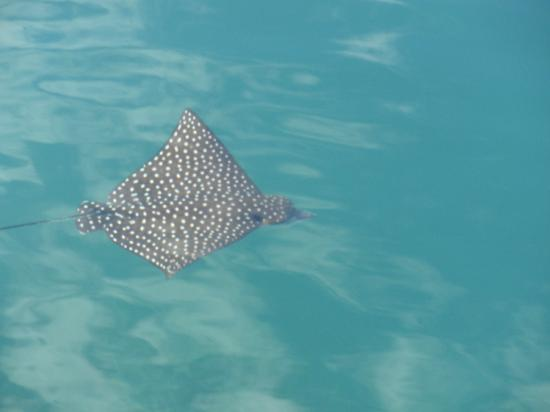 Mango Creek Lodge: Eagle Ray - right out the restaurant deck