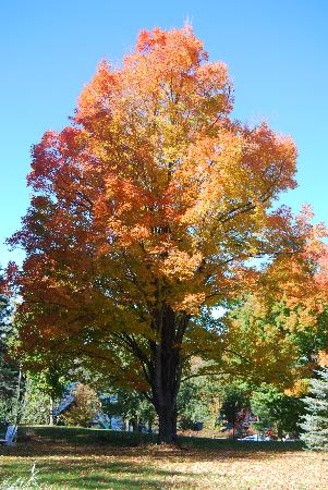 Wings Hill Inn: Maple in fall