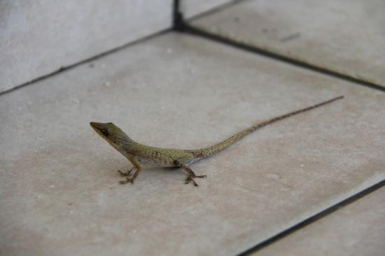 Iberostar Ensenachos: Lizard on patio of 5501