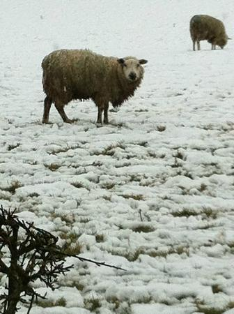 Belan Bach Lodges: Poor sheep the day it snowed