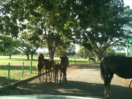 Highway 997: Entrance from HW 997 to Sun Bay Blocked by Horses