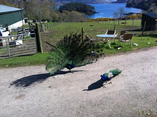 Craig Highland Farm: elvis & costello the peacocks and view from large lodge