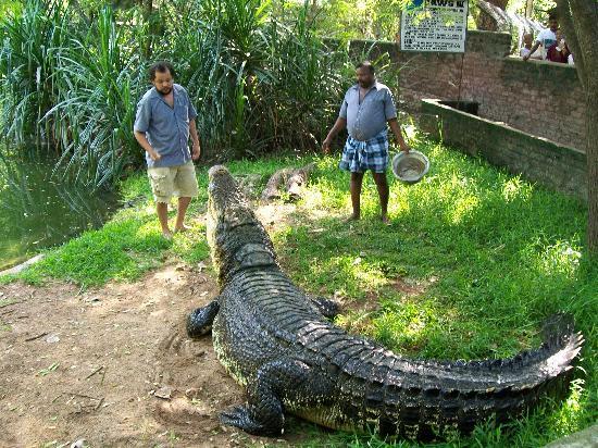 Madras Crocodile Bank: Keepers feeding Jaws III the Salt Water Crocodile
