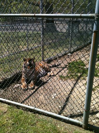 Space Farms Zoo & Museum: tiger