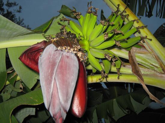 Dunas del Este: Bananero