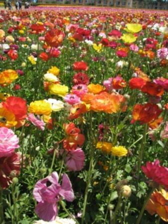 Flower Fields Picture Of Carlsbad Flower Fields