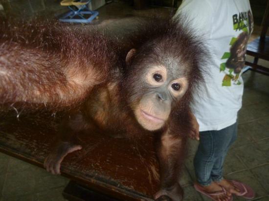 Bali Elephant Tour: Baby Orangatang in mini zoo